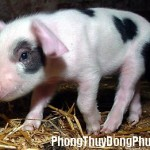 Giải mã các bí ẩn giấc mơ thấy lợn