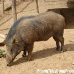 Giải mã các bí ẩn giấc mơ thấy con lợn rừng đực